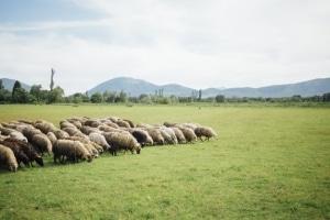 sheep farm business